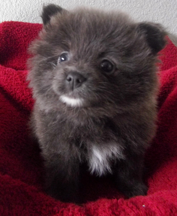 Panda X Simba Past Puppies Litter 3 Daylight Pomeranians